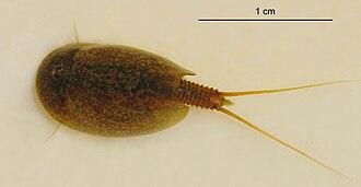 Notostraca - Lepidurus apus