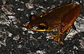 Leprieur's Tree Frog (Osteocephalus leprieurii) on the road ... (24950625178).jpg
