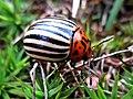 Leptinotarsa decemlineata (Colorado potato beetle), Molenhoek, the Netherlands.jpg