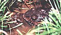 Leptodactylus labyrinthicus16.jpg