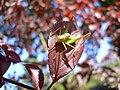 Leptophyes punctatissima 20050818 495.jpg