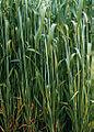 Les Plantes Cultivades. Cereals. Imatge 147.jpg