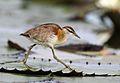 Lesser Jacana, Microparra capensis, Chobe River, Botswana (32065160072).jpg