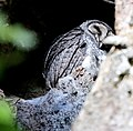 Lesser Sooty Owl (Tyto multipunctata) (30566643833).jpg