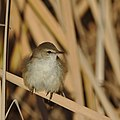 Lesser swamp warbler, Acrocephalus gracilirostris, at Marievale Nature Reserve, Gauteng, South Africa (40722475760).jpg