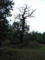 Letzlinger Heide - Eiche - panoramio.jpg