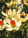 Leucadendron discolor - Flame Tips.jpg