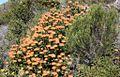 Leucospermum cordifolium in CT Fynbos2.JPG