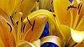 Lilies Yellow 1 (218014149).jpeg