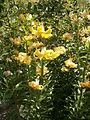 Lilium monadelphum 01.jpg