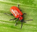 Lily Beetle. Lilioceris lilii. Chrysomelidae - Flickr - gailhampshire.jpg