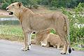 Lion (Panthera leo) young male (17341301892).jpg