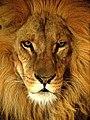 Lion Portrait (31242373).jpeg