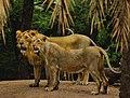 Lion lioness hyd.jpg