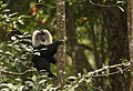 Lion tailed macaque on tree.jpg