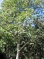 Liriodendron chinense 2zz.jpg