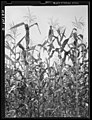 Lititz vicinity, Lancaster County, PA Corn field of C.F. Minnich, 1938 by Sheldon Dick.jpg