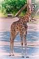 Little Giraffe (20441950270).jpg