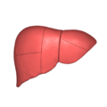 Liver 03 anterior view.png