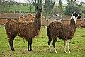 Llama of Sixpenny Handley - geograph.org.uk - 370066.jpg