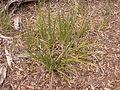 Lomandra longifolia (5097669367).jpg