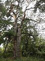 Lomská borovice.jpg