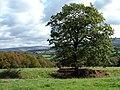 Lone Tree - geograph.org.uk - 1515884.jpg