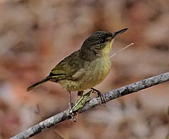 Long-billed Greenbul.jpg