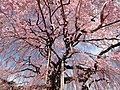 Look up at the Jiunji-Temple Prunus pendula tree from the bottom.JPG