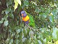 Lorikeet In Auckland Zoo Bird Enclosure.jpg