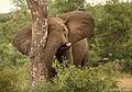Loxodonta africana 2 (Martin Mecnarowski).jpg