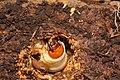 Lucanus cervus larva inside a log.jpg