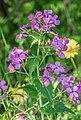Lunaria annua in Aveyron.jpg