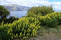 Lupinus arboreus kz2.jpg
