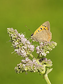 Lycaena phlaeas LC0308.jpg