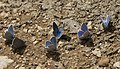 Lycaenidae butterflies - Mavi kelebekler 01.jpg