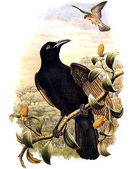 Lycocorax pyrrhopterus by Bowdler Sharpe