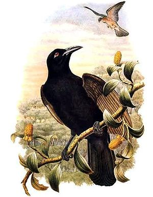 Paradise-crow - Image: Lycocorax pyrrhopterus by Bowdler Sharpe
