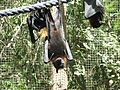 Lyles Flying Fox 2.JPG