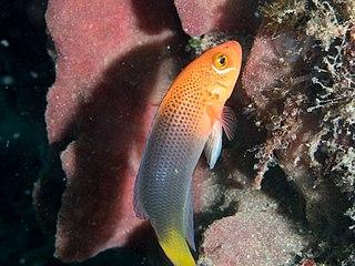 <i>Pseudochromis steenei</i>