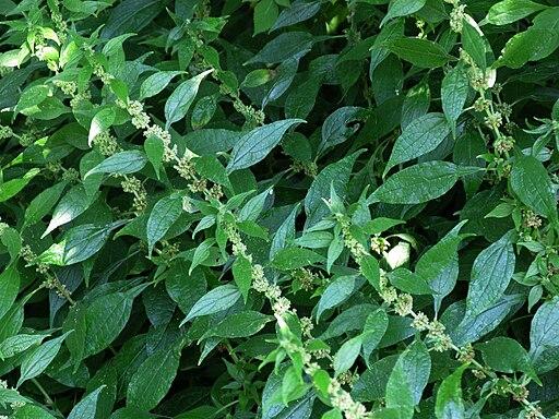 MFG 1774-Parietaria-officinalis-a