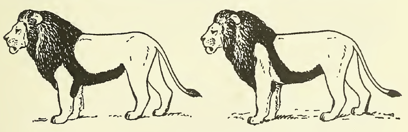 http://upload.wikimedia.org/wikipedia/commons/thumb/1/11/MSU_V2P2_-_Panthera_leo_manes.png/800px-MSU_V2P2_-_Panthera_leo_manes.png