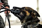 "MWDs ""pawsitively"" impact base security 160915-F-ES117-270.jpg"