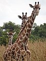 Maasai Giraffes - Mikumi National Park - Tanzania - 04 (8892296233).jpg