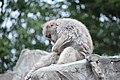 Macaca fuscata in Ueno Zoo 2019 15.jpg