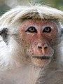 Macaque à toque - Femelle.JPG