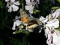 Macroglossum stellatarum (Sphingidae) (Humming-bird Hawk Moth) - (imago), Lent, the Netherlands - 3.jpg