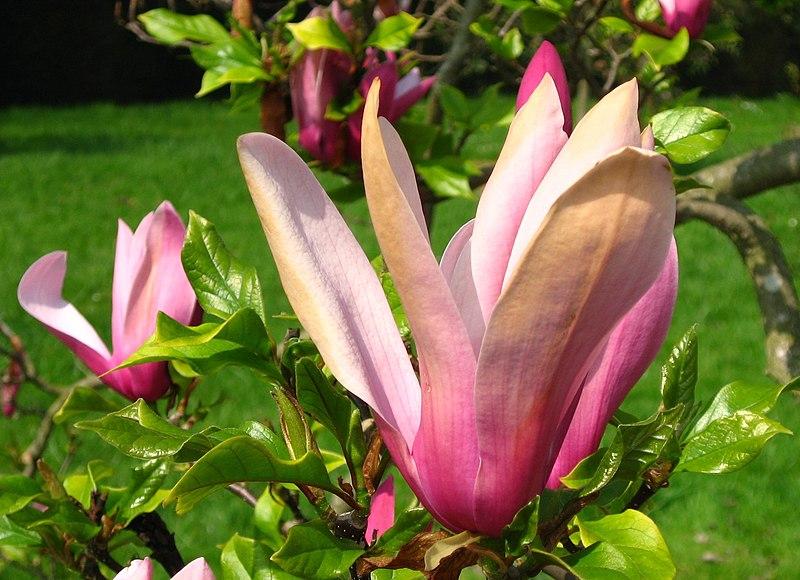 fleur du magnolia lis
