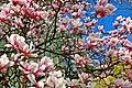Magnolienblüte - panoramio (1).jpg