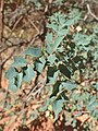 Mahonia fremontii kz04.jpg